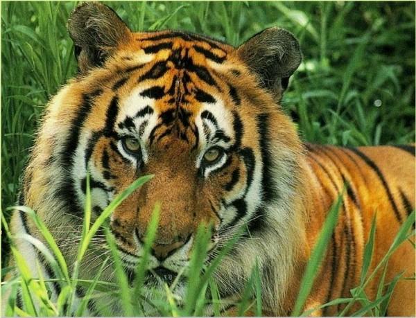 Nuova pagina 1 - Colorazione pagina di tigre ...